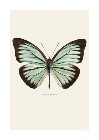 Bild »Pareronia valeria lutescens« Schmetterling.