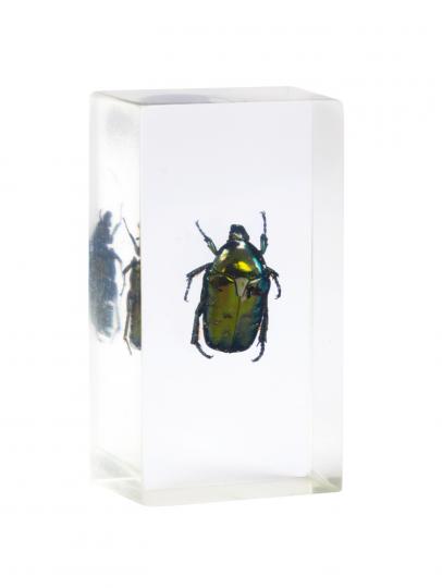 Blumenkäfer in Acrylblock gegossen. »Protaetia Elegans«.