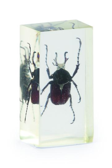 Rosenkäfer in Acrylblock gegossen. »Dicranocephalus Wallichi Bourgoini«.