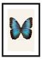 Foto Schmetterling im Rahmen »Blauer Morphofalter«. Bild 1