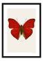 Schmetterling Foto »Cymothoe sangaris«. Bild 1