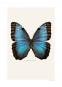 Foto Schmetterling im Rahmen »Blauer Morphofalter«. Bild 2