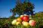 Handbuch Bio-Obst. Sortenvielfalt erhalten. Ertragreich ernten. Natürlich genießen. Bild 4