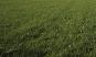 Hochwertige Gräsermischung »Wunder-Rasen«. Bild 5